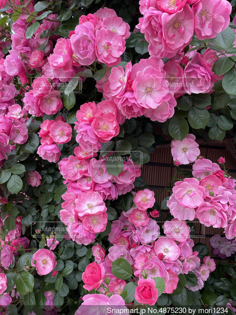 ピンクの花々の写真・画像素材[4875230]