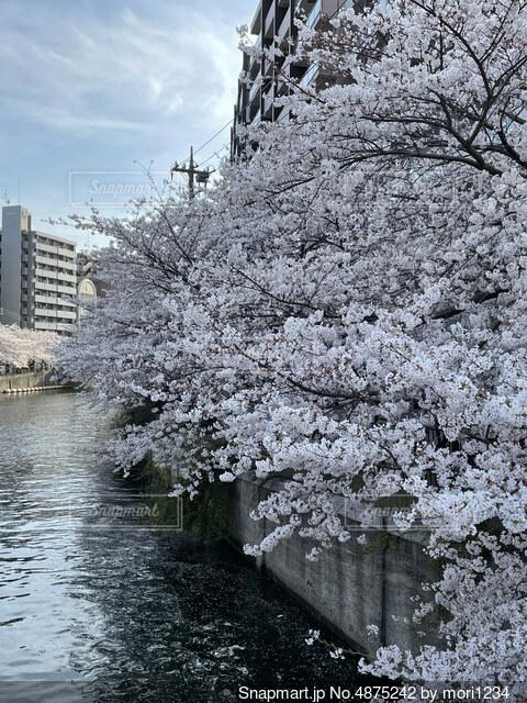 川沿いの桜の写真・画像素材[4875242]