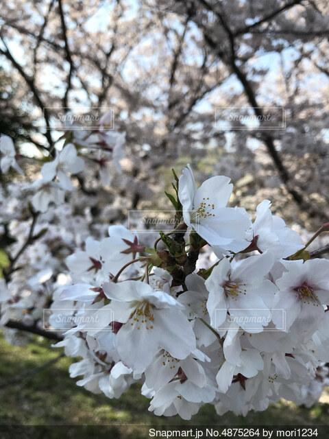 こんにちは、桜のあいさつの写真・画像素材[4875264]