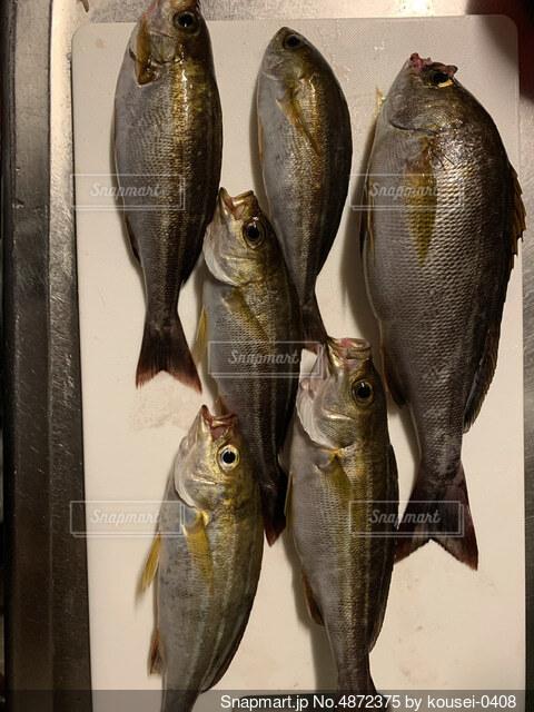 釣りで釣れた魚たちの写真・画像素材[4872375]