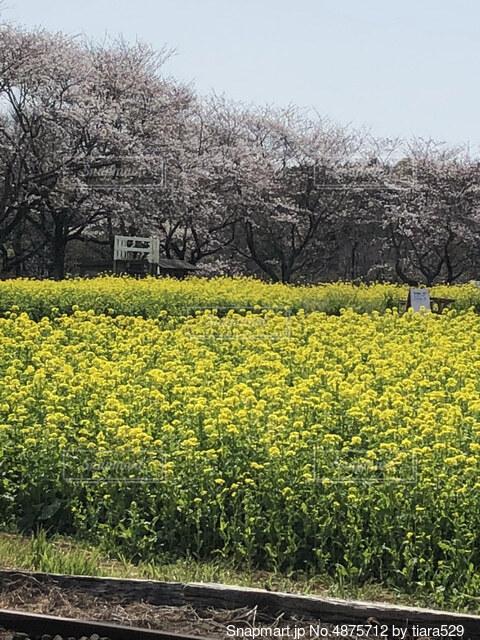 桜と菜の花の写真・画像素材[4875712]