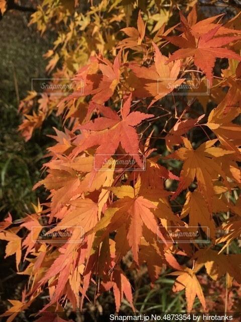 紅葉の写真・画像素材[4873354]