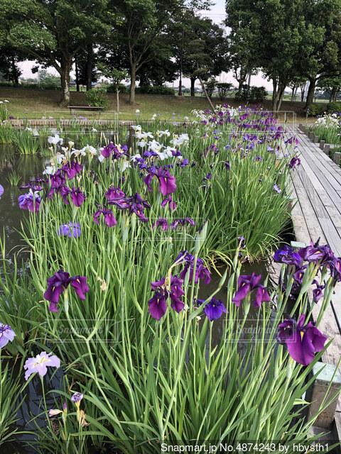 菖蒲の公園の写真・画像素材[4874243]