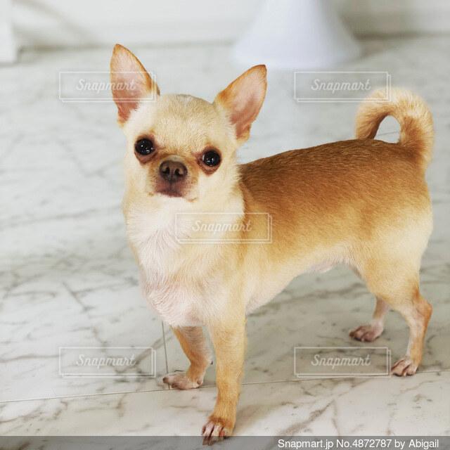 砂の中に立っている小さな茶色の犬の写真・画像素材[4872787]