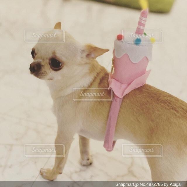 おもちゃで遊んでいる小さな犬の写真・画像素材[4872785]