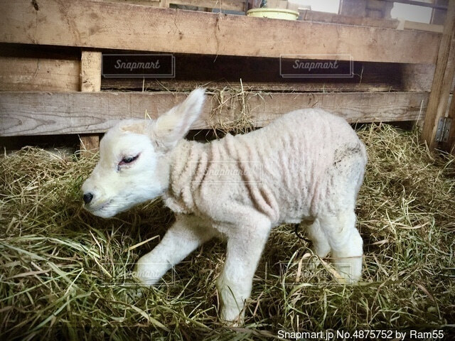 生まれたての子ヤギの写真・画像素材[4875752]
