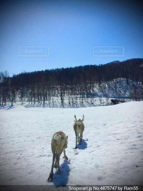 雪原を歩くトナカイの写真・画像素材[4875747]