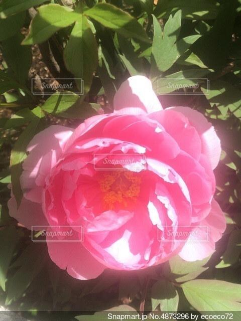 大輪の花の写真・画像素材[4873296]
