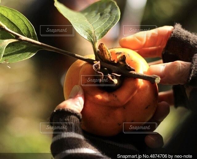 柿を持つ手の写真・画像素材[4874706]