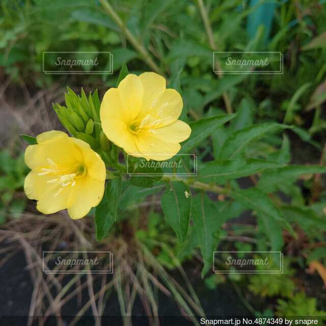 黄色の花の写真・画像素材[4874349]