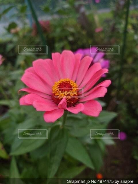 一輪のピンクの花の写真・画像素材[4874475]