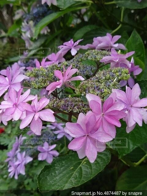 紫陽花02の写真・画像素材[4874487]