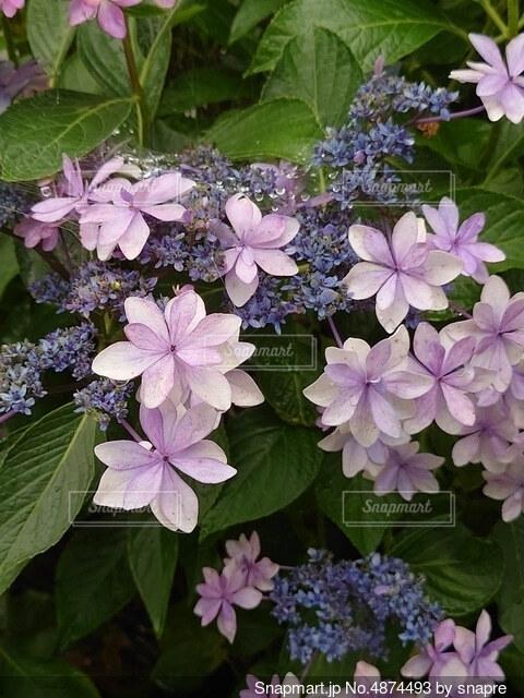 紫の紫陽花の写真・画像素材[4874493]