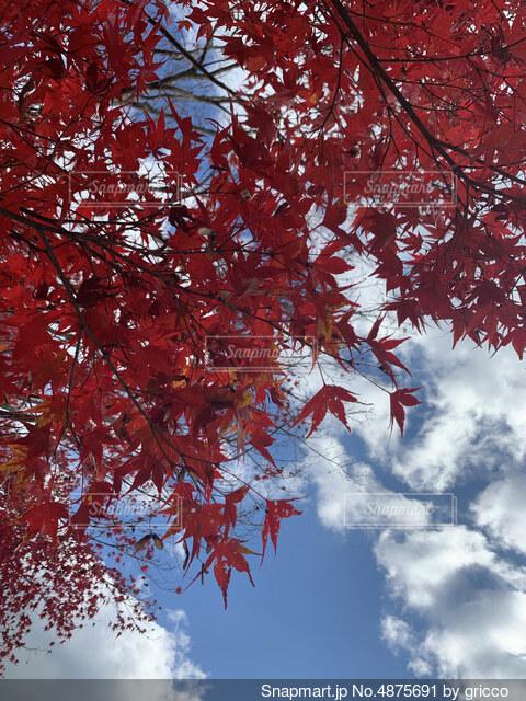青空と赤く色づいた紅葉の写真・画像素材[4875691]