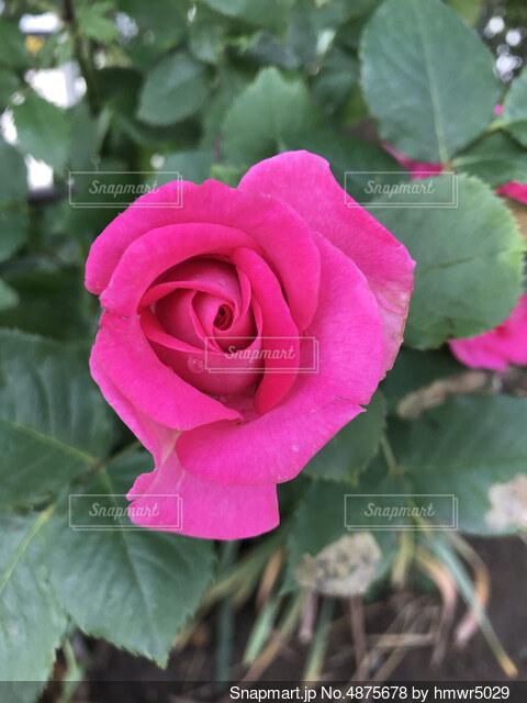 バラ(ピンク)の写真・画像素材[4875678]