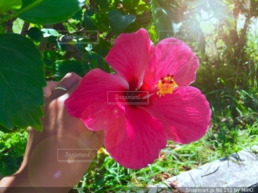 植物にピンクの花の写真・画像素材[151]