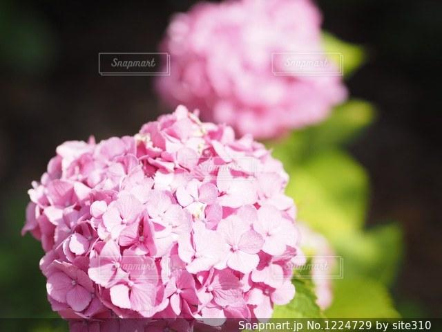 紫陽花の写真・画像素材[1224729]