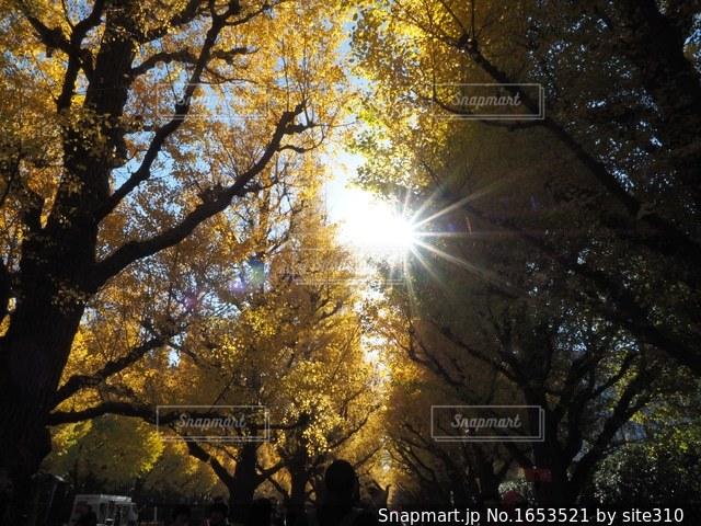 神宮外苑のいちょうの写真・画像素材[1653521]