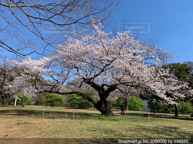 代々木公園の桜の写真・画像素材[3050006]