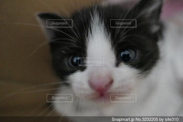 カメラを見ている猫のクローズアップの写真・画像素材[3232205]