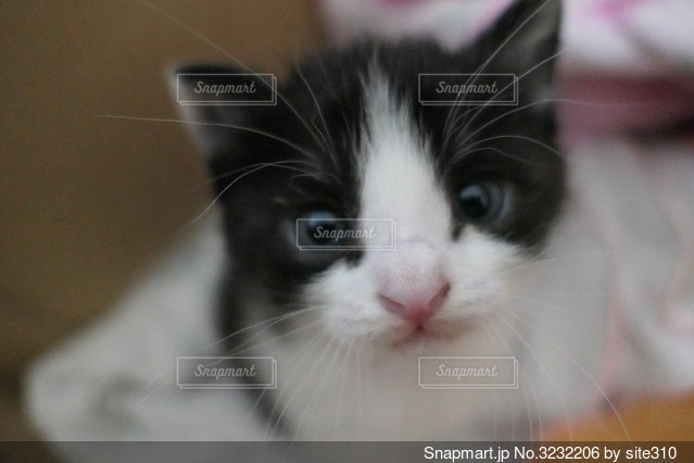 カメラを見ている猫のクローズアップの写真・画像素材[3232206]