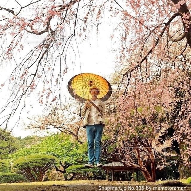 男性,1人,桜,傘の写真素材