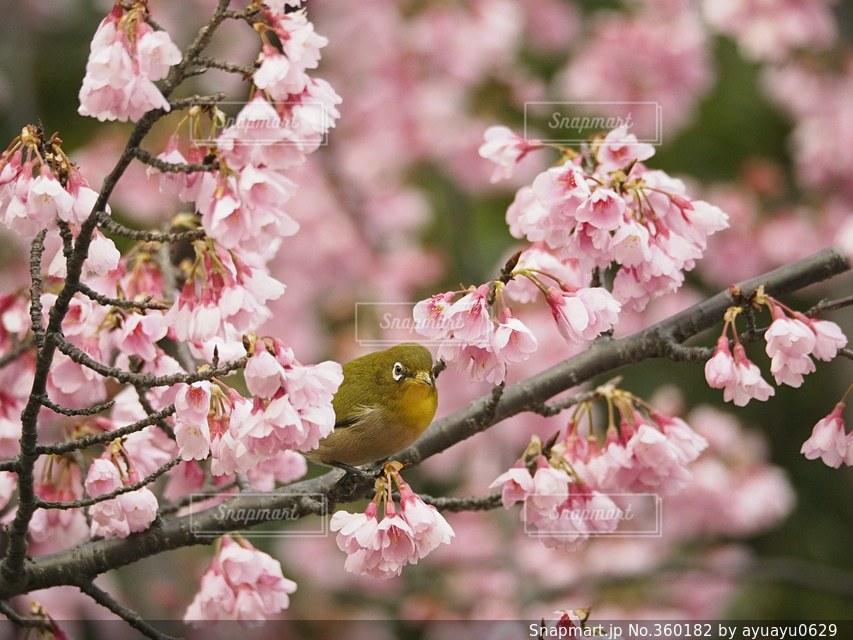 風景,花,春,鳥,日本,メジロ