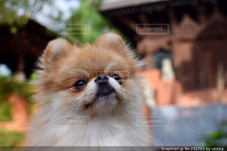 犬の写真・画像素材[242703]