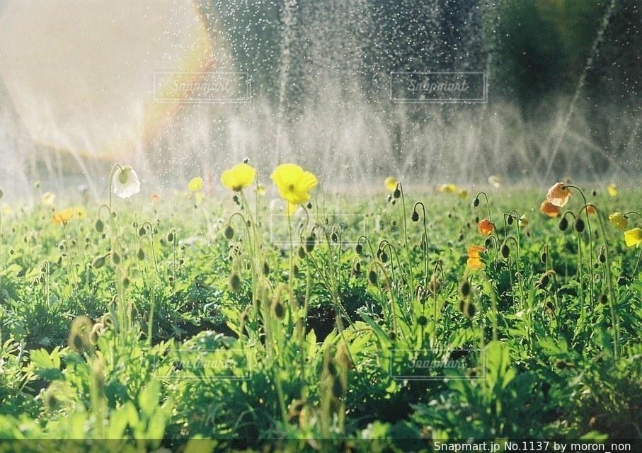草の中の黄色い花の写真・画像素材[1137]