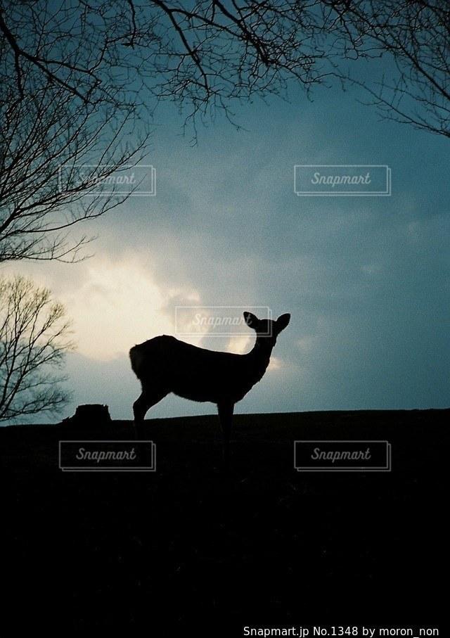 羊は日没の前に立っています。 - No.1348