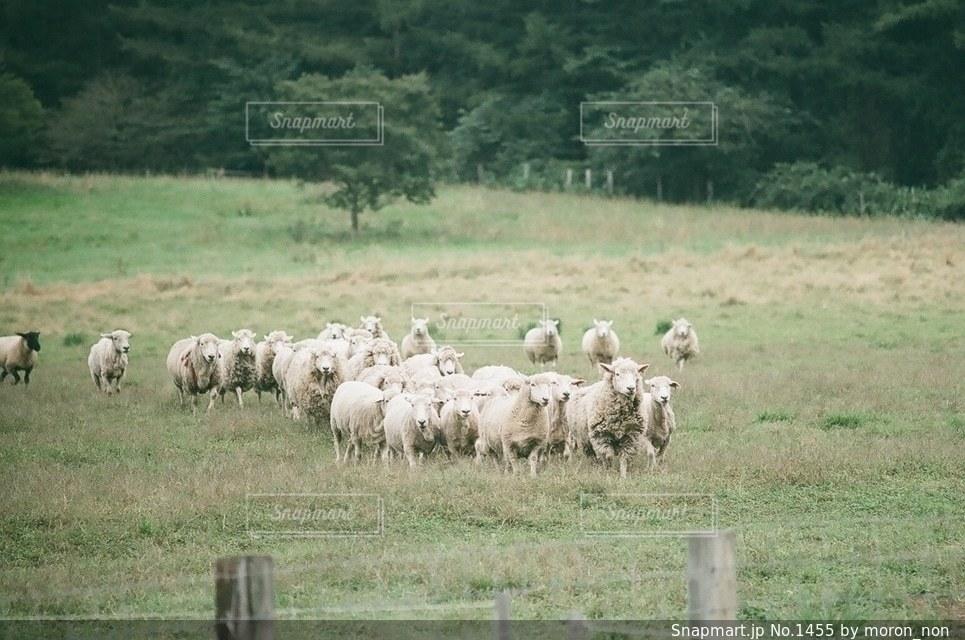 No.1455 羊