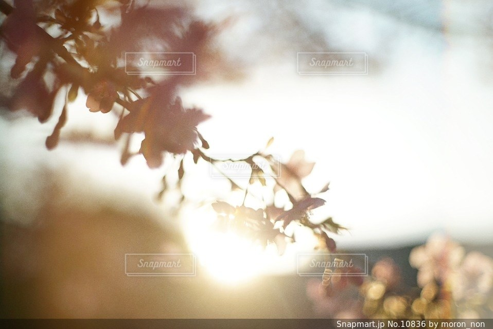 桜の写真・画像素材[10836]