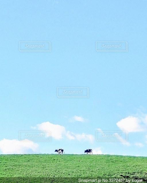 緑豊かな畑で放牧する牛の群れの写真・画像素材[3372457]