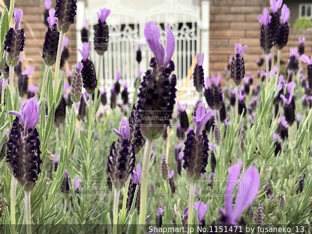 庭のラベンダーを門扉と一緒に。の写真・画像素材[1151471]