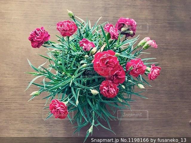 カーネーションの鉢植えを真上から。の写真・画像素材[1198166]