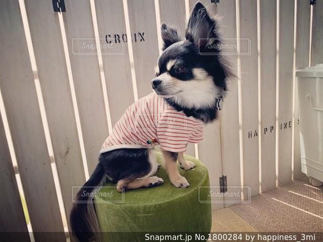 椅子に座っている犬の写真・画像素材[1800284]
