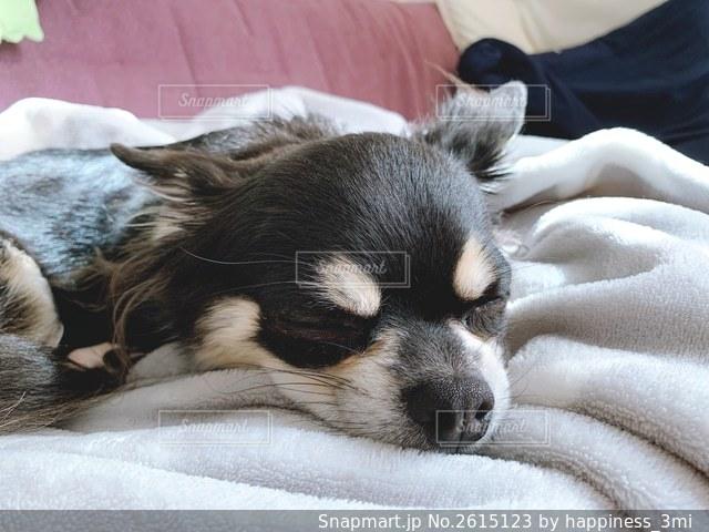 愛犬の寝顔の写真・画像素材[2615123]