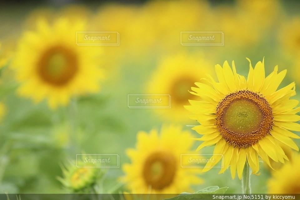 花の写真・画像素材[5151]