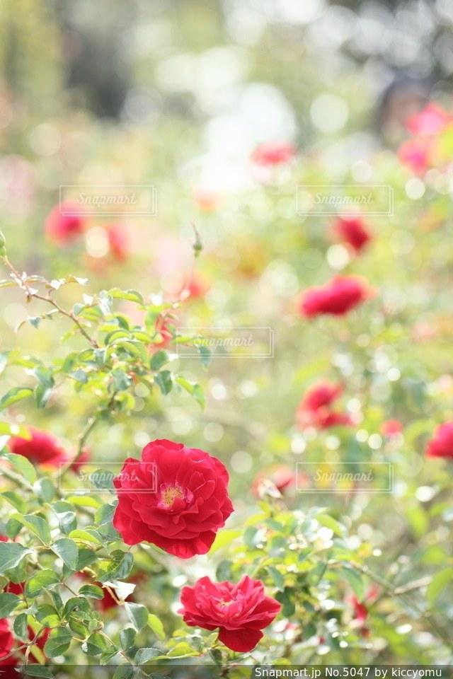花の写真・画像素材[5047]