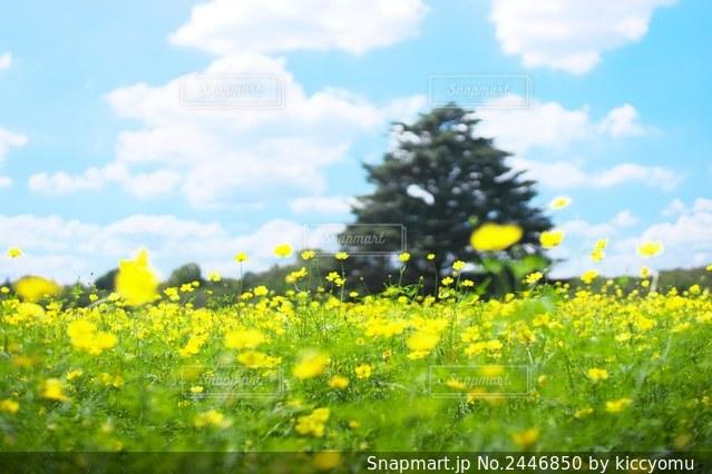 野原の黄色い花の写真・画像素材[2446850]