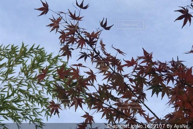 紅葉と笹🍁🎋の写真・画像素材[1639107]