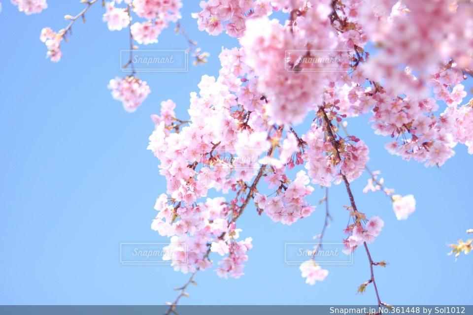 No.361448 桜