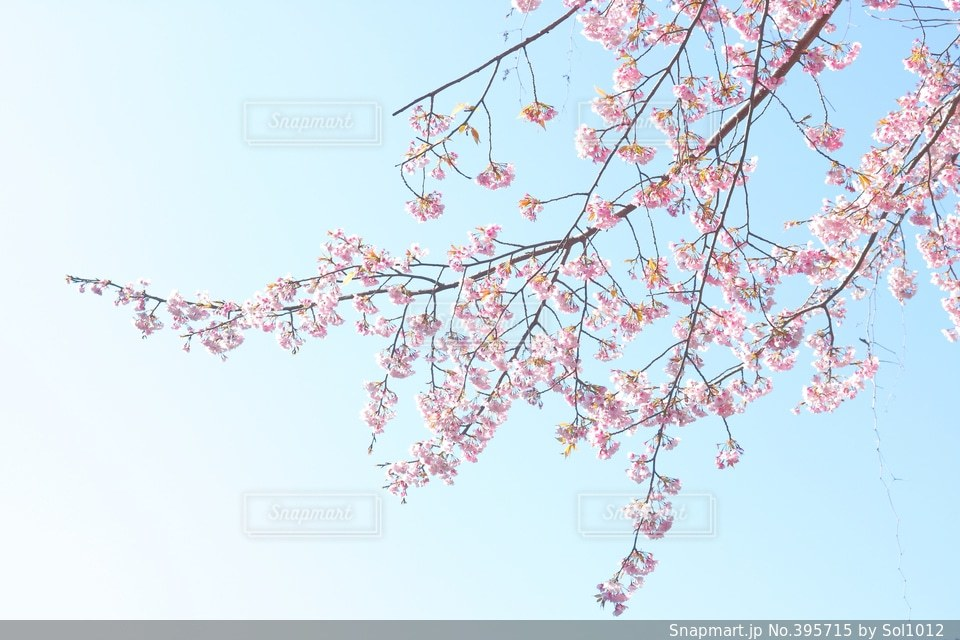 公園,春,桜,ピンク,青,水色