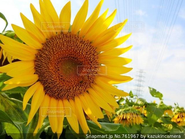 黄色の花の写真・画像素材[761967]