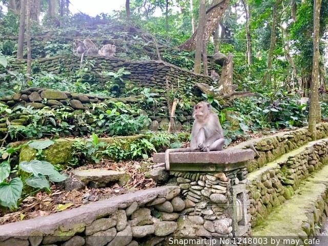 撮影地→バリ、ウブドのモンキーフォレストの写真・画像素材[1248003]