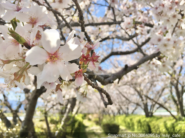 桜 2020年の写真・画像素材[3084095]