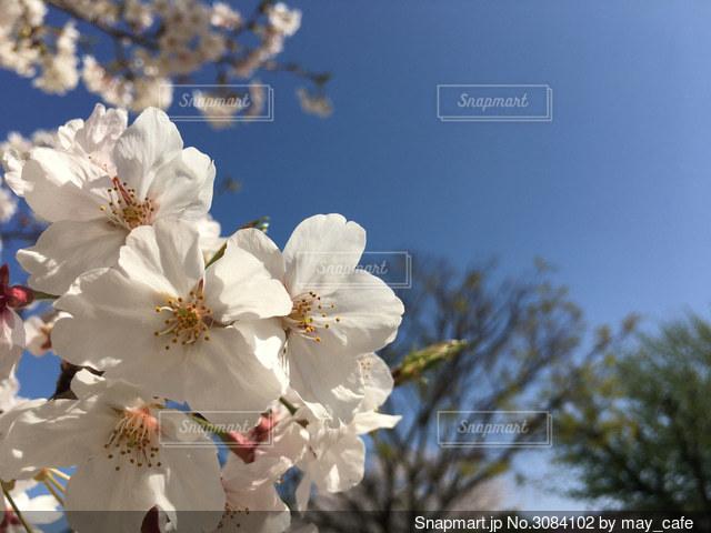 桜のクローズアップの写真・画像素材[3084102]