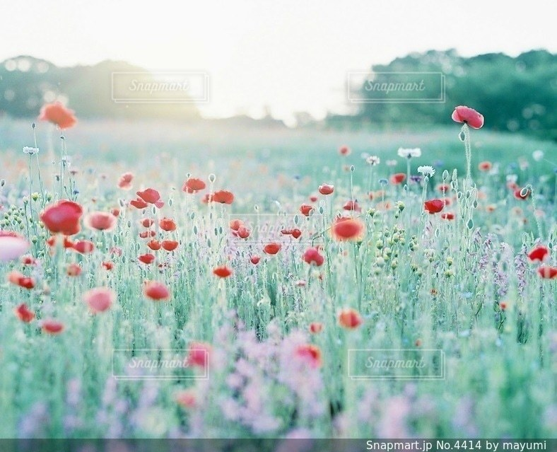 花畑の写真・画像素材[4414]