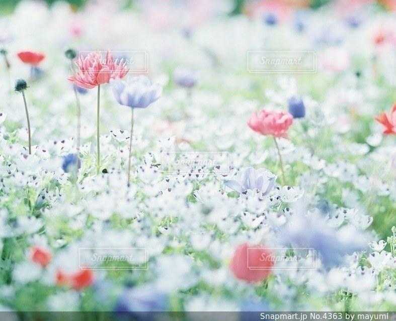 花畑の写真・画像素材[4363]