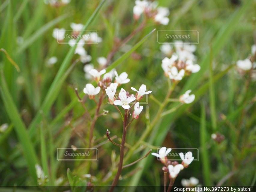 花,春,緑,植物,白,草,草花,ナズナ,小花,なずな